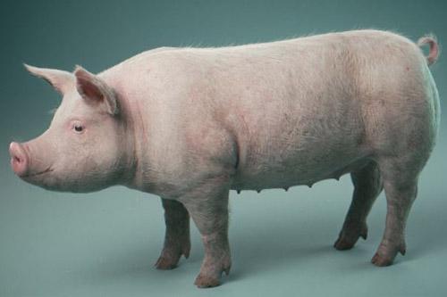 pig-con-lon
