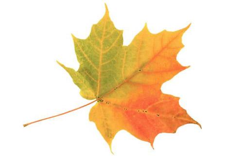 leaf-chiec-la