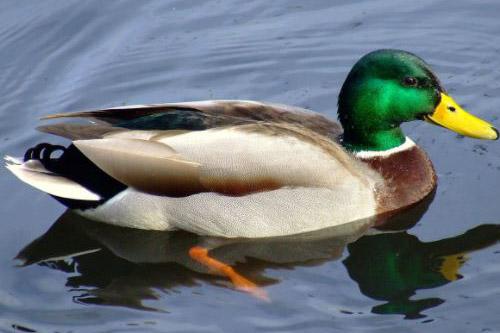 duck-con-vit