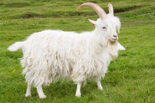 goat-con-de