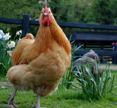chicken-con-ga