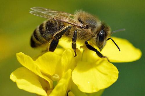 bee-con-ong